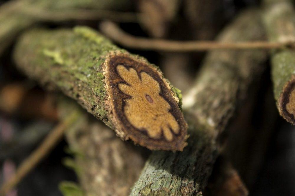 ayahuasca-vine-1024x683